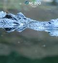 alligator1920