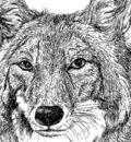 williamli coyote ink